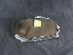 Guinea pig dressed in a baked potato costume <3