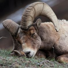 It's a three day weekend -- the perfect excuse to spend some extra time in bed. Bighorn sheep are famously elusive and quick to avoid human contact, so this photo of a napping ram at Yellowstone National Park in Wyoming is a special find. Photo by Bill Cochran (www.sharetheexperience.org).