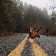 .Dachshund Parade: Photo.