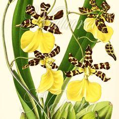 Flower Print 77, Sale item, botanical art vintage illustration, produced from a vintage bookplate, 8x11 wall art.