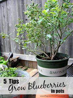 No matter where you live you can grow blueberries in pots. Know the container, soil, mulch and fertilizer requirements to aid in a successful harvest.