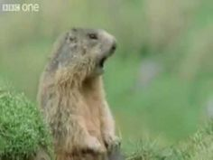 Funny voice over to animals in the wild.    *copyright goes to BBC*