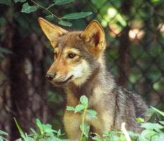 This little pup, born last May 2, 2014 at the Land Between the Lakes Nature Station in KY, will be a YEAR OLD TOMORROW! Long-time supporter Tim Bruno took some fabulous photos of her parents just a few days ago which we will post soon. Happy Almost First Birthday to this lovely little wolf! In this photo, she is just 4 months old! Photo: Land Between the Lakes Nature Station