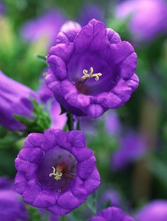 Fill your garden with unique flowers like these canterbury bells. Tips from #ServiceRunner