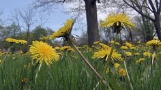 According to researchers, test results done prior to the clinical trial showed that dandelion tea, containing dandelion root extract, killed cancer cells in a lab.