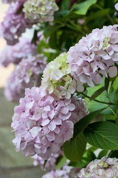 Hydrangea in Lilac Pastel Purple Green. Hortensia Hydrangea, Hydrangea Care, Hydrangea Flower, My Flower, Purple Hydrangeas, Hydrangea Macrophylla, Foto Transfer, Garden Inspiration, Beautiful Gardens