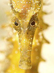 The Golden Stare - Longsnout Seahores (Hippocampus ramulosus)