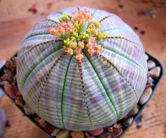 Colorful Euphorbia obesa