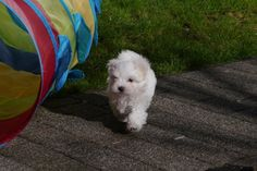 Adorable Paws / D-Wurf Malteser Welpe, 23.02.17, 7 Wochen alt, Züchter Daniela Krüger