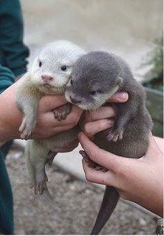 I mean there is not much that is cuter than baby otters. Did you know that otters hold hands in water as they sleep so that they don't drift apart from each other? I need a baby otter or two! Cute Baby Animals, Animals And Pets, Funny Animals, Wild Animals, Party Animals, Small Animals, Animal Pictures, Cute Pictures, Dog Pictures