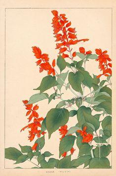 Salvia - Chigusa Soun (Sou-un) 1873-1944