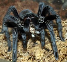 creepy spiders   Giant Spider, black, dangerous, large, scary, spider