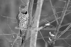 Black and White Bird Photography  Northern by FeatherWindStudio