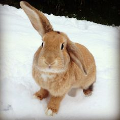 Bunny keeps an ear up to listen for snow bunnies - February 7, 2013
