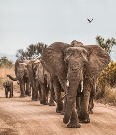 See Elephants in the Wild 🐘 African elephants are the largest land mammals on the planet, and the females of this species undergo the longest months. Elephant Facts, Elephant Images, Elephant Pictures, Elephant Walk, Elephant Family, Baby Elephant, Animal Pictures, Monstre Du Loch Ness, Planeta Animal