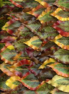 36144 Pyrus calleryana by horticultural art, via Flickr