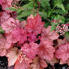 Bright pinkish-orange spring and early summer foliage gives way to rosy shades of purple and red in autumn and winter on this handsome H. villosa hybrid.