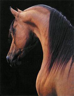 Arabian Horse Arabian Horse Show - Western Competition Egyptian Stallion Breeding All The Pretty Horses, Beautiful Horses, Animals Beautiful, Majestic Horse, Majestic Animals, Arabian Stallions, Arabian Horses, Arabian Beauty, Horse Photography
