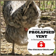Prolapse Vent in Chickens: Causes & Treatment. *Graphic Photos**