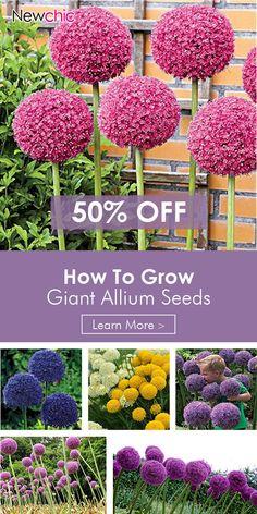 UP to 50% OFF -- Egrow 100 PCS Garden Outdoor Giant Allium Giganteum Beautiful Flower Seeds Bonsai Plant Seeds#newchic#newchicgarden#newchichome#plant