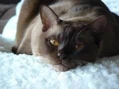 My Burmese Boy.. he is the most beautiful cat in the universe!