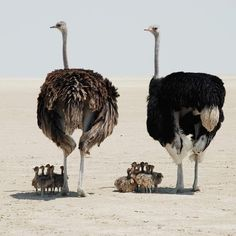 An Entire Ostrich Family Roaming the African Plains Fast Crazy Nature Deals. Wildlife Nature, Nature Animals, Animals And Pets, Nature Nature, Wild Animals, Mother Nature, Beautiful Birds, Animals Beautiful, Majestic Animals
