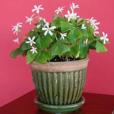 Oxalis Regnelli (Lucky Shamrocks) in a Mossy Green Pot - FREE Shipping!