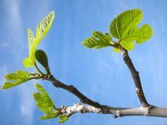Comment tailler le figuier en hiver ? Ficus, Garden Online, Vegetable Garden Design, Balcony Garden, Hades, Permaculture, Botany, Horticulture, Gardening Tips