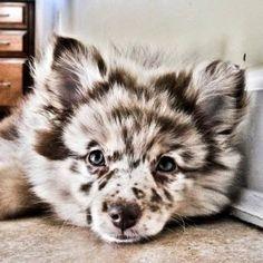 Australian Shepherd - Pomeranian Mix