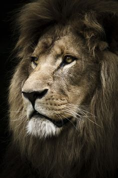 King of the Jungle.In the realm of spirit animals, the lion wins the prize for most relentless fighter in the face of life challenges. The lion spirit animal represents courage, strength in overcoming difficulties. Lion And Lioness, Lion Of Judah, Fierce Lion, Beautiful Cats, Animals Beautiful, Beautiful Pictures, Animals And Pets, Cute Animals, Wild Animals