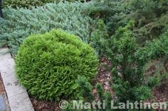 Siirry tuotteeseen Thuja Occidentalis, Stepping Stones, Outdoor Decor, Plants, Home Decor, Stair Risers, Decoration Home, Room Decor, Plant
