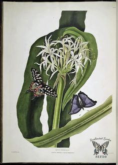 Swamp-Lily,-Mangrove-Lily.-Crinum-asiaticum-var.-pedunculatum.-Giant-bulbous-perennial-to-10-feet-tall-and-wide.-White,-fragrant-flowers-in-clusters-of-up-to-100.-Native-to-Australia-and-New-Guinea.-A-Selection-of-Hexandrian-Plants-(1831-1834)
