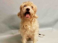 SUPER URGENT 01/15/17 Manhattan Center CAMBRIE – A1101532 FEMALE, TAN, COCKER SPAN / POODLE MIN, 4 yrs STRAY – STRAY WAIT, NO HOLD Reason STRAY Intake condition UNSPECIFIE Intake Date 01/14/2017, From NY 10468, DueOut Date 01/17/2017,