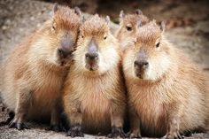Capybaras ... so adorable. This is the largest rodent in the world. (lives in South America)