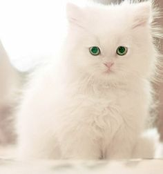 White Cat Green Eyes Breed