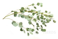 Wholesale Silver Dollar Eucalyptus | Wholesale Greenery | Wholesale Filler…