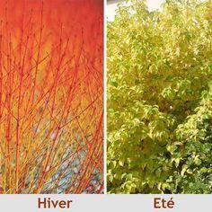 Cornus sanguinea 'Midwinter Fire' - Cornouiller sanguin 'Winter Beauty' à bois orange