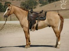 Red dun All The Pretty Horses, Beautiful Horses, Animals Beautiful, Dun Horse, American Quarter Horse, Quarter Horses, Horses For Sale, Horse Saddles, Horse Pictures