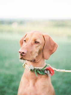 doggie ring bearer