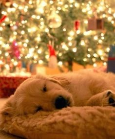 Golden Retriever sleeping in front of a Christmas Tree