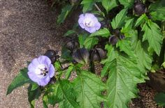 Nicandra or shoo-fly. A plant from Peru that seeded itself from bird seed in the garden