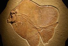 Google Afbeeldingen resultaat voor http://blog.hmns.org/wp-content/uploads/2010/06/Solnholfen-fish.jpg