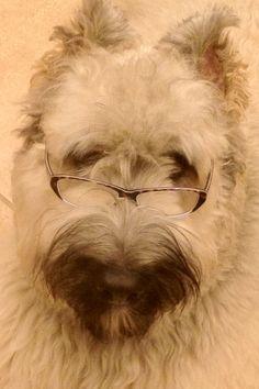 My dog the professor....<3. Bouvier des Flandres love. :-)