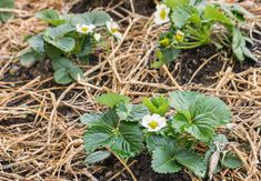 Jordbærbed - sådan får du succes med dine jordbær | idényt Planters, Garden, Flowers, Composters, Creative, Garten, Planter Boxes, Plant, Flower Pots
