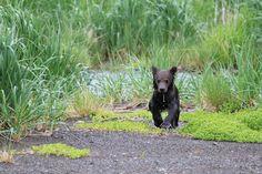 Baby Bear, Alaska