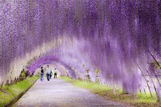 22 Unbelievable Places that are Hard to Believe Really Exist |Wisteria Flower tunnel in Japan
