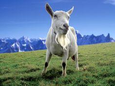 Keçi Sütü İnek Sütünden Daha mı Faydalı?
