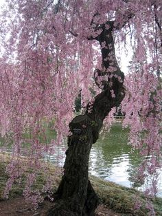 Weeping Cherry Blossom Tree Reflecting in the Pond in the Japanese Garden