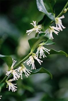 Sarcococca confusa sweet box - partial to deep shade, moist but well drained soil, flowers december to March