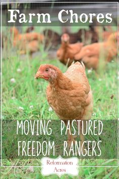 Chore Time: Moving the Pastured Freedom Ranger Broilers (VIDEO)